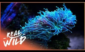Alien Reefs [Coral Documentary] | Real Wild