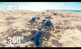 Baby Turtles Hatch And Face A Perilous Race To The Ocean |  VR 360 | Seven Worlds, One Planet
