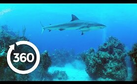 Protecting Ocean Anchor Species | Racing Extinction (360 Video)