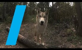 Wild With: Wolves (360 Video)