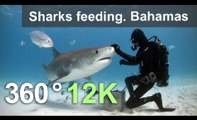 Sharks feeding. Bahamas. Underwater 360 video in 12K