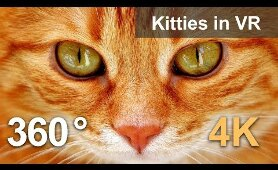360 video, Kitties in VR. Cute inhabitants of cat cafe in Moscow. 4K video