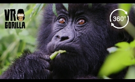 Meet The Mountain Gorillas - 360 VR Video