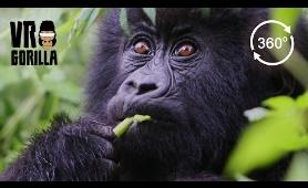 Meet The Mountain Gorillas - 360 VR Video - Short Version