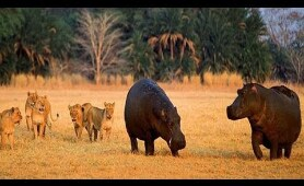 NatGeo Wild - Turf War Lions and Hippos -  National Geographic