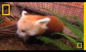 Cute Baby Panda   National Geographic