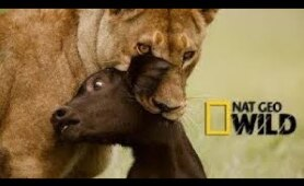 National Geographic Lions Documentary 2018: South Africa Lions in the Jungle Documentary