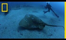 Largest Known Marine Stingray Study | National Geographic