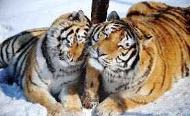 National Geographic Animals Documentary 2017 : Siberian Tigers - Nature Documentary 2017